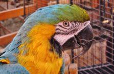 Irak (Kurdystan) - papuga ara w zoo w Sylaymaniya.