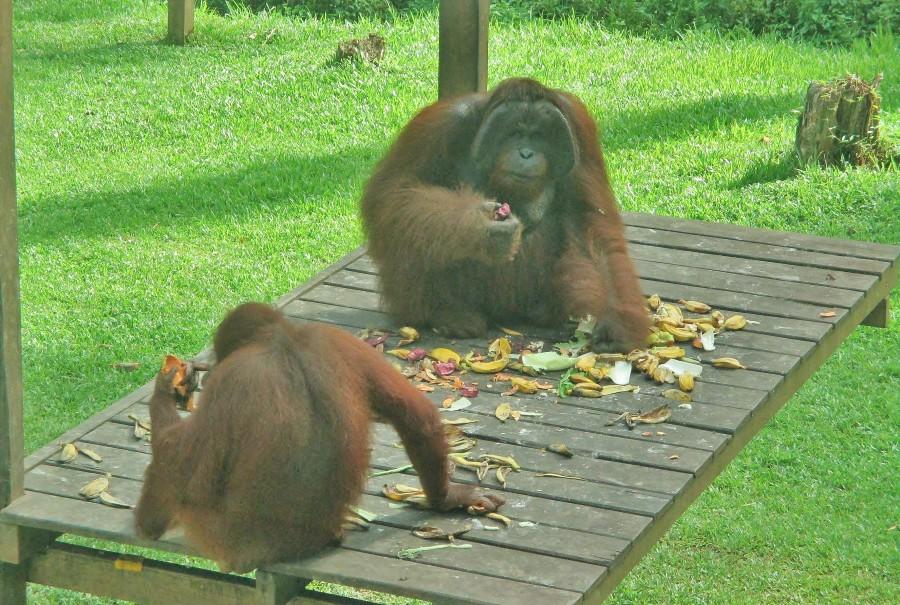 Orangutans in Sepilok.