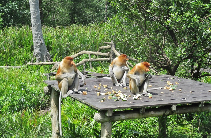 Proboscis monkeys Labuk Bay