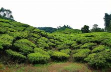 Cameron Highlands (15)