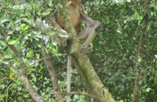 Labuk Bay (proboscis) (19)