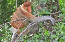 Labuk Bay (proboscis) (24)