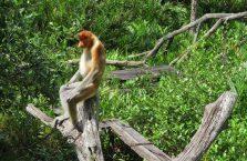 Labuk Bay (proboscis) (4)