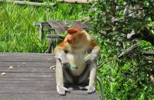 Labuk Bay (proboscis) (5)