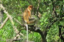 Labuk Bay (proboscis) (7)
