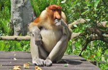 Labuk Bay (proboscis) (9)