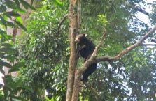 Niedźwiedzie słoneczne Borneo (1)