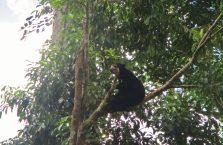 Niedźwiedzie słoneczne Borneo (2)
