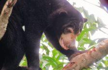 Niedźwiedzie słoneczne Borneo (3)