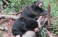 Niedźwiedzie słoneczne Borneo (4)