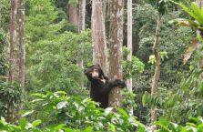 Niedźwiedzie słoneczne Borneo (5)