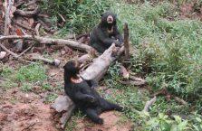 Niedźwiedzie słoneczne Borneo (6)