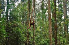 Semenggog Orangutan Borneo (10)