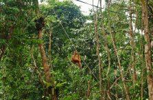 Semenggog Orangutan Borneo (11)