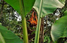 Semenggog Orangutan Borneo (2)