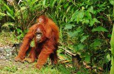 Semenggog Orangutan Borneo (3)
