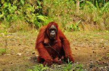 Semenggog Orangutan Borneo (4)