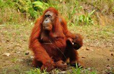 Semenggog Orangutan Borneo (5)