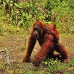 Semenggog Orangutan Borneo (6)