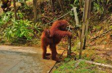 Semenggog Orangutan Borneo (7)
