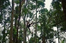 Semenggog Orangutan Borneo (9)