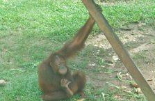 Sepilok Orangutan (1)