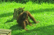 Sepilok Orangutan (2)