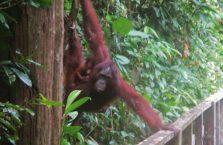 Sepilok Orangutan (4)