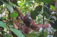Sepilok Orangutan (5)