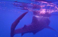 Oslob rekiny wielorybie (12)